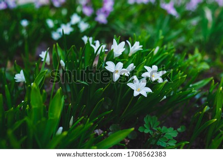 many white Chionodoxa flowers in spring among grass in a park #1708562383