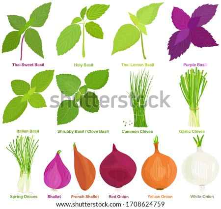 Vector of aromatic Herb, bulb vegetable - Basil, Chives, Onions, Shallot. Healthy ingredients. Colorful set of food illustration isolated on white background  #1708624759