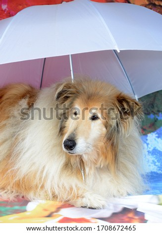 Rough collie studio funny pic animal actor glass and hat
