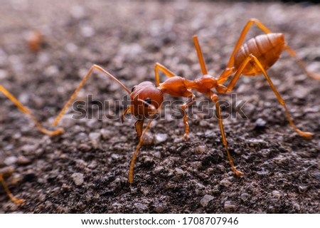 Red ant , The red ant eating the larva