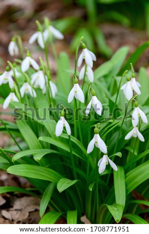 Blooms, the snowdrop or common snowdrop (Galanthus nivalis). Snowdrop close-up. Snowdrops bloom after winter. #1708771951