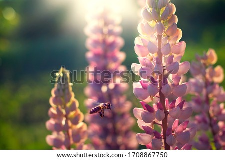 a bee pollinates lupines at sunset