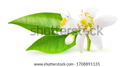 Isolated orange blossoms. Small branchlet of orange tree with leaves and flowers isolated on white background with clipping path #1708891135