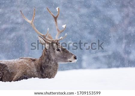 Portrait of a deer in winter season and snowing. #1709153599