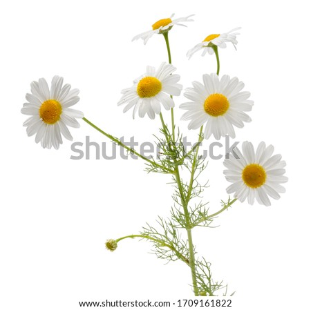 Many camomile flowers and leaves on one stalk isolated on white background #1709161822