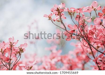 Cornus florida rubra Tree with pink flowers in spring Park. Cornus florida flowering dogwood on blue sky background. Spring flowering tree close-up. Spring blossom background. Spring flowers. #1709455669