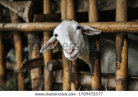 goat inside a cage. this is a traditional way of indonesian people goat farming.