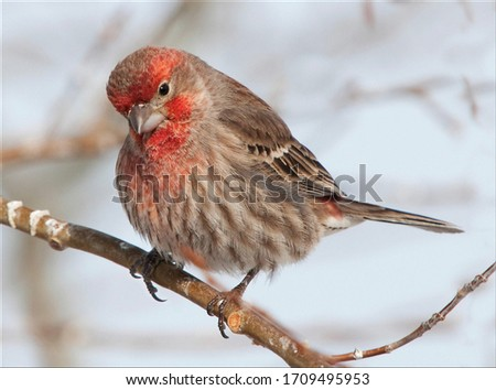 The house finch is a bird in the finch family Fringillidae. It is native to western North America, and has been introduced to the eastern half of the continent and Hawaii.  Royalty-Free Stock Photo #1709495953