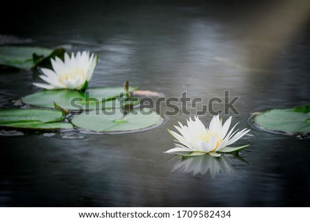 Beautiful white waterlily or lotus flower in pond with reflecting on the water  #1709582434