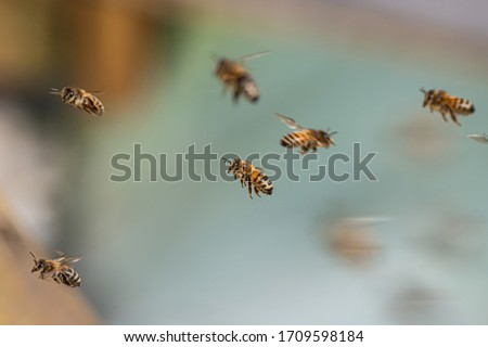 Close up of flying honey bees into beehive apiary Working bees collecting yellow pollen Royalty-Free Stock Photo #1709598184