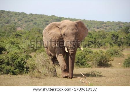 Elephants, Addo Elephant Park, Port Elizabeth, South Africa. #1709619337