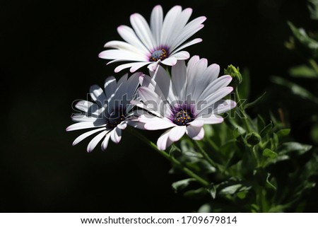 Floral background. Beautiful white flowers of Osteospermum close up. White flowers on a dark background. Horizontal, close-up, cropped shot, free space. Floriculture concept.