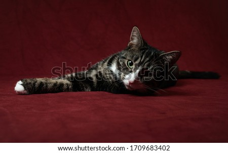 Tabby cat isolated on red background