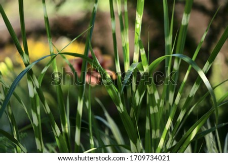 Blurred grass background. Beautiful colorful leaves of a zebra grass. Leaves of Miscanthus sinensis zebrinus on a sunny day in the garden. Close-up, blur, cropped shot, free space.Floriculture concept