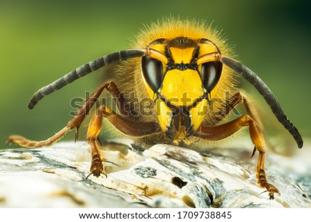 Close up picture of European Hornet. His Latin name is Vespa crabro.