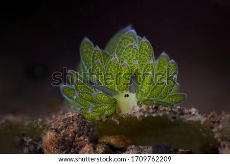 Purple-Tipped Costasiella. Underwater macro photography from Tulamben, Bali,  Indonesia