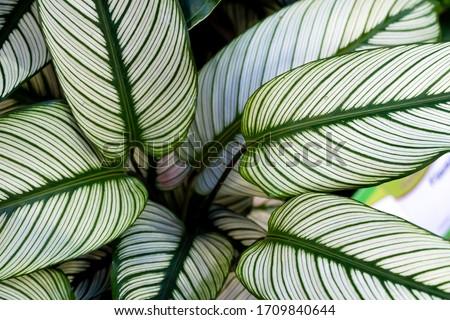 Calathea ornata, variously striped, pin-stripe, or pin-stripe calathea plants leaves close - up #1709840644