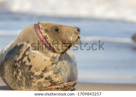 Animal welfare. Injured seal suffering from horrific neck wound by discarded fishing net line. Plastic marine pollution wildlife hazard. Sad nature image with message copy space. Horsey colony UK Royalty-Free Stock Photo #1709843257
