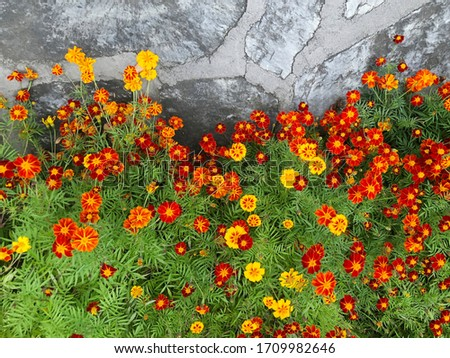 Marigolds Tagetes erecta, Mexican marigold, Aztec marigold, African marigold in the garden. #1709982646