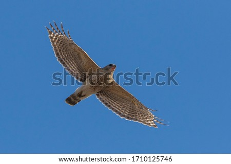 red-shouldered hawk pair in spring #1710125746