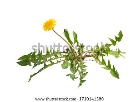 dandelion isolated on white background #1710141580