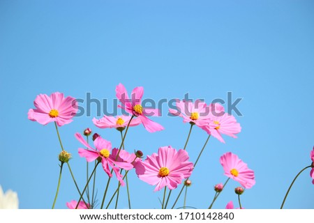 Pink cosmos flower blooming cosmos flower field with blue sky, beautiful vivid natural summer garden outdoor park image. Royalty-Free Stock Photo #1710142840