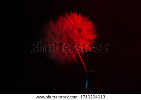 Big dandelion in red neon light. Abstract photo on a dark background. Element for graphic design. Picture for desktop with a plant.