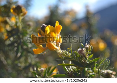 Single yellow gorse flower in the sunshine, against a blurred background of gorse and blue sky.  #1710206242