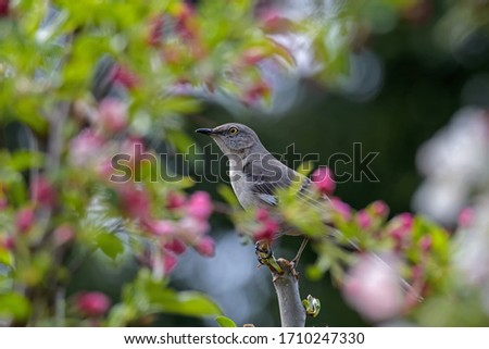 Northern mockingbird framed by pink blossoms. The only mockingbird found in North America. It is common and conspicuous in suburban habitats and brushy fields. It feeds on insects and fruits.