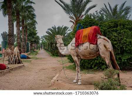 Camel looking at the path between palm trees, Marrakech, copy-space #1710363076