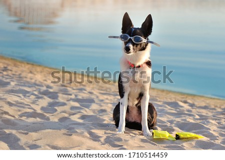 Short haired border collie in swimming glasses #1710514459