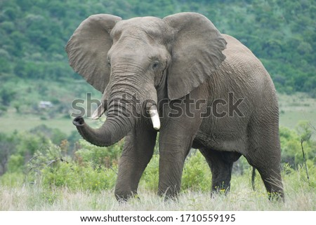 Large African elephant bull trumpeting trunk