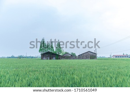 Green wheat fields and houses #1710561049