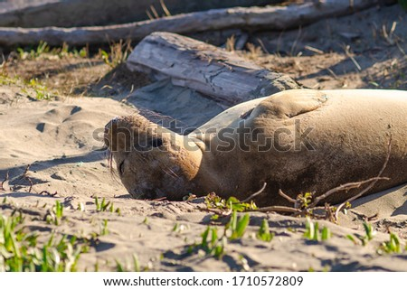A young elephant seal lies on the beach, Point Reyes, California,