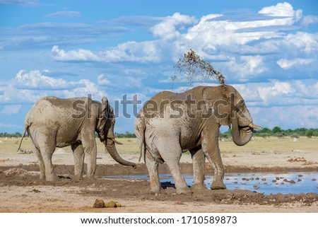 Elephant tossing mud on its back Royalty-Free Stock Photo #1710589873