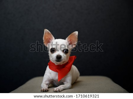 A beautiful white chihuahua dog is lying on a gray sofa with a bright red ribbon tied around its neck in the form of a small tie and is looking upright in front of itself. Studio, black background.