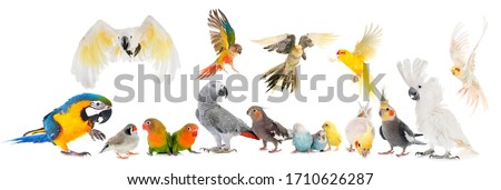 common pet parakeet, African Grey Parrot, lovebirds, Zebra finch and Cockatielin front of white background Royalty-Free Stock Photo #1710626287