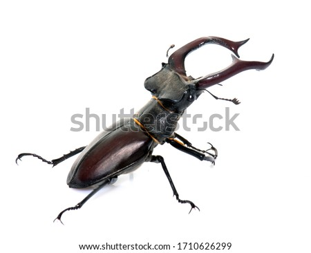Lucanus cervus in front of white background Royalty-Free Stock Photo #1710626299