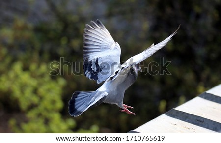Dove landing on a roof sill #1710765619