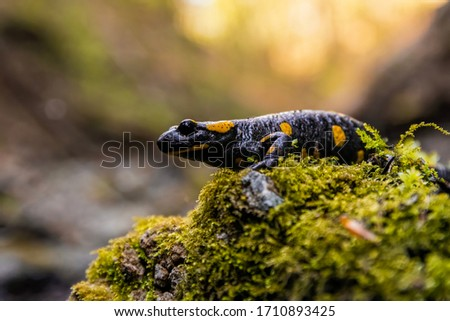 Fire salamander (Salamandra salamandra) sitting on a mossy stone. Beautiful salamander in its habitat at sunset. Czech Republic