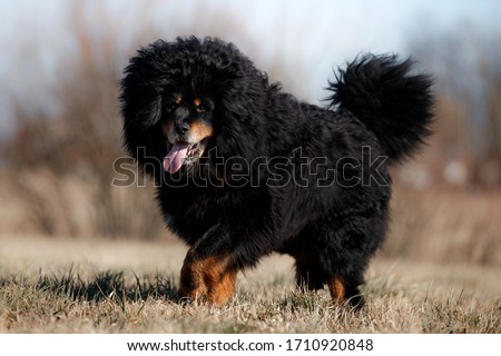 portrait of a large black dog breed Tibetan Mastiff walking through a spring field in dry grass against a blue sky #1710920848