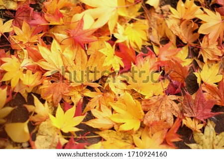 J๋apan Day maple leaves background. Beautiful autumn leaves / Beautiful autumn leaves on a tree in the forest. #1710924160