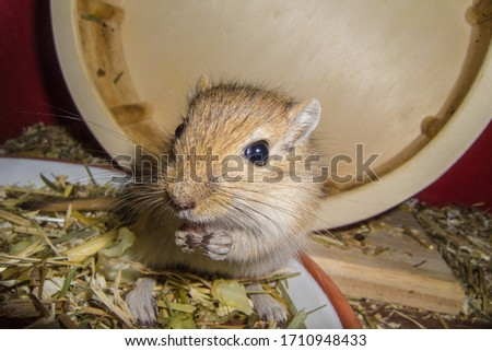 Mongolian gerbils (Meriones) as pet