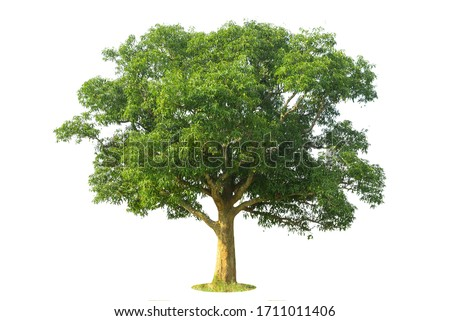 Tree isolate on white background, clipping paths.