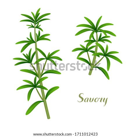 Fresh single sprigs of summer savory isolated on white background. Vector illustration #1711012423