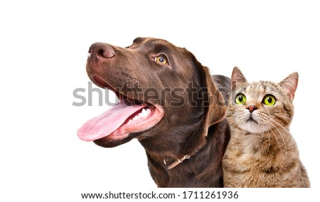 Portrait of a funny Labrador and a curious cat Scottish Straight, closeup, side view, isolated on white background Royalty-Free Stock Photo #1711261936