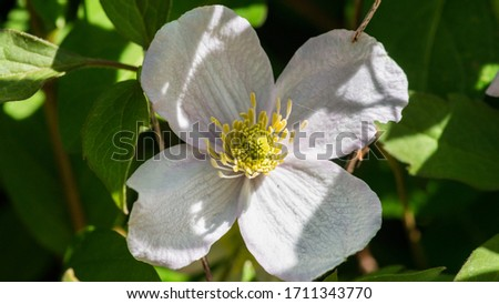 A macro shot of a white clematis montana bloom. #1711343770