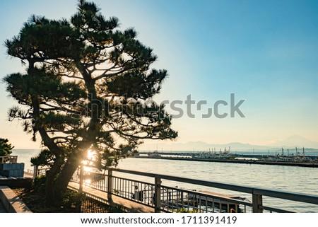Evening landscape of Japan. Pine tree against the setting sun. Sunset on lake Kawaguchi. Berths on lake Kawaguchiko. Mount Fuji. Natural landscape of Kawaguchiko. Nature Of Japan. #1711391419
