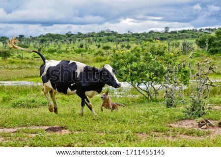 Cattle dog or Herding dogs. Australian Cattle Dog #1711455145