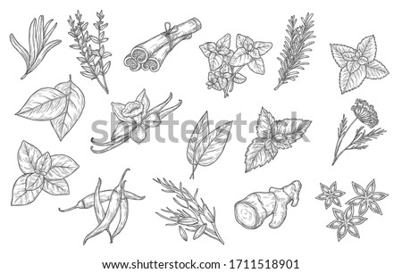 Cooking spices and herb seasonings, vector sketch icons. Herbal condiments and culinary flavorings, cinnamon, vanilla and chili pepper, anise and mint, basil, oregano and bay leaf, dill and parsley #1711518901